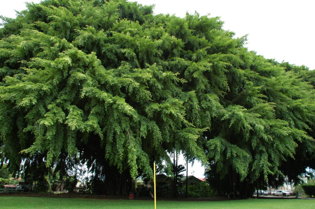 ハワイ島の失われた風景Patr3 巨木編